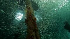 Large school of scad swims under dock