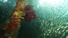circling around dock pole with soft coral. Large school of fish swimming.