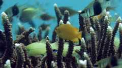 various reef fish swimming around flaghorn coral