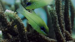 fish nibbling at branches of flaghorn coral