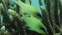 2 pairs of fish floating in between branches of flaghorn coral