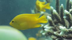 Yellow damselfish swimming around coral reef