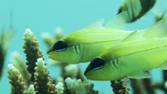 Pair of fish swimming around flaghorn coral