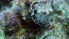Nudibranch crawling on hard coral