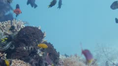 various damselfish swimming on coral reef. Other fish visible in background