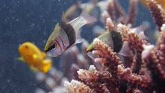 pair of blackbelted cardinalfish swimming near coral reef