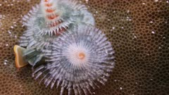 Christmas-Tree worm opening and closing,