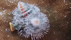 Christmas-Tree worm opening and closing