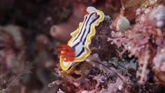 Chromodoris annae, nudibranch on coral