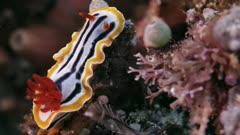 Notodoris gardineri, nudibranch on soft coral