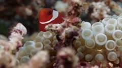 Maroon clownfish swimming on bubbletip anemone