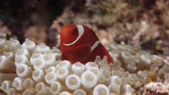 Maroon Clownfish and bubbletip anemone