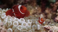 Maroon Clownfish swims on anemone