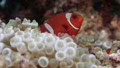 Maroon Clownfish swims on bubbletip anemone