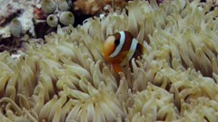 Tilt down to clownfish in anemone