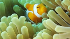 Clownfish swimming through anemone, pan right then left