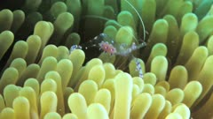 Bubble shrimp and clownfish on anemone