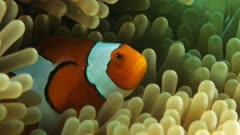 clownfish on anemone