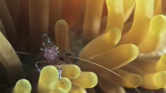 Bubble shrimp on anemone