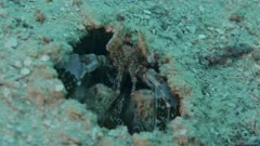 Spearing mantis shrimp pops its head out of hole in seabed