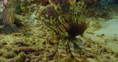 pair of lionfish near seabed on reef