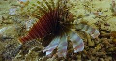 camera tracks lionfish along ocean floor