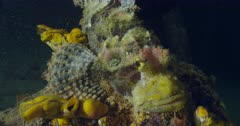 Dwarf lionfish cameraouflaging with coral and tunicates
