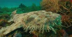 Tasseled Wobbegong Shark laying on reef