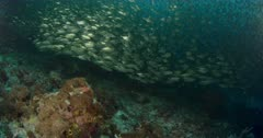 camera travels through large. dense school of scad, reveal reef below