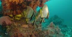 Longfin batfish sheltering under coral