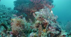 shaded batfish taking shelter under coral with other fish
