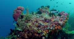 camera circles coral head with variety of reef fish, clown triggerfish and various damselfish