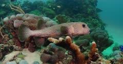 camera tracks blowfish as it swims along reef