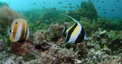 Moorish Idol and various fish swimming above reef