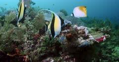Medium shot Reef with Moorish Idol