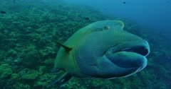Reef, tilt up to Napoleon Wrasse, camera tracks it and it exits frame