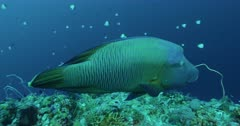 Reef and Napoleon Wrasse enters frame and camera pans with it