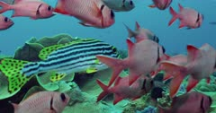 camera tracks school of Soldierfish by reef