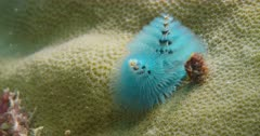 Christmas-Tree Worm coming out of coral opening