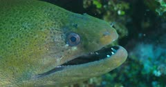 Tilt up to Giant Moray Eel in coral