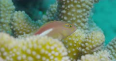 Arc-eye Hawkfish floats by coral then darts away