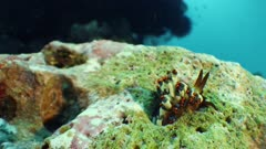 Nudibranch crawling out of hole on coral