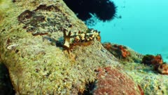 Nudibranch crawling over hard coral in current