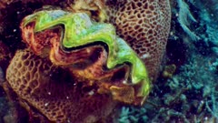 camera tilt up to reveal clam on coral, clam opening.