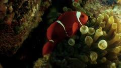 Big and small clownfish on anemone