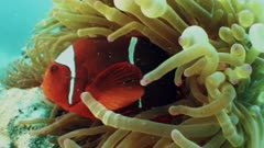 Close up on anemone and clownfish taking shelter