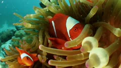 Close up on anemone, clownfish swims out