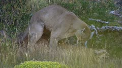 Mountain Lions Mating
