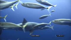 SFR589131 & SFR589133 - Great White Sharks
