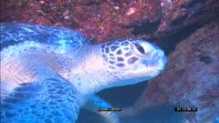 SFR589131 - Green Sea Turtle